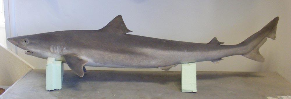 Requin hâ